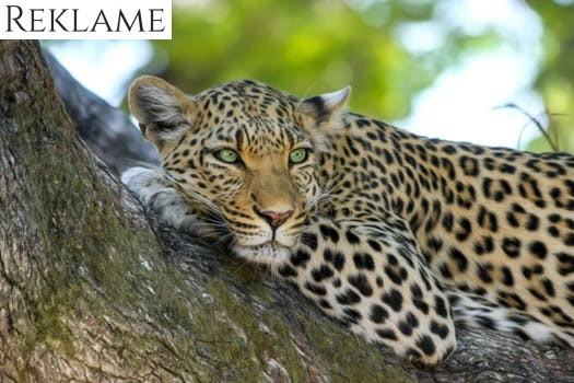 Tag på bryllupsrejse på safari